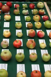 Apfelausstellung Baumveredelung Herbstlust